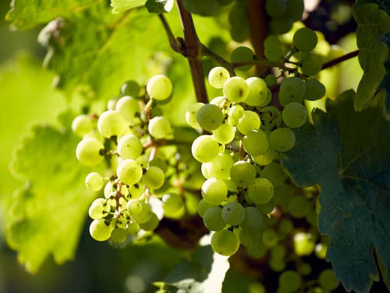 Weinwerft